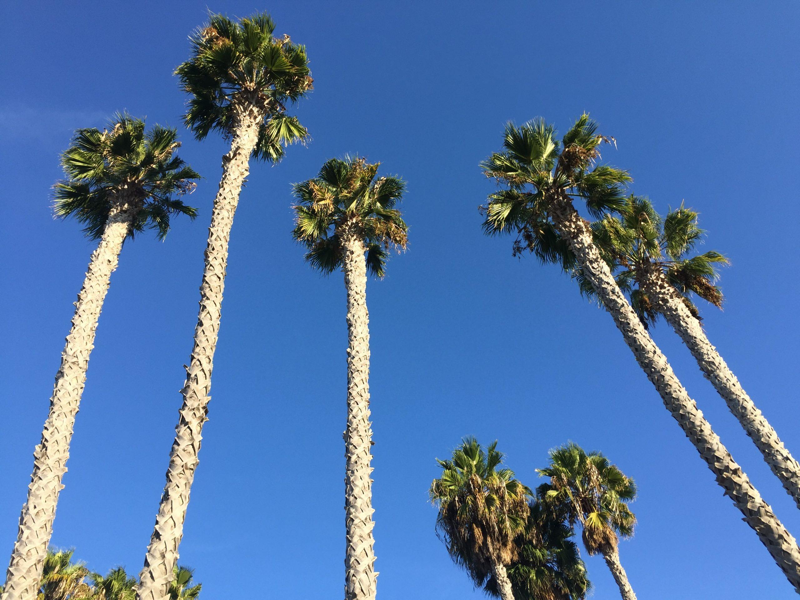 major palms to be cut